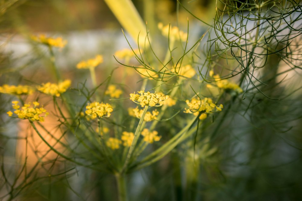 Fennel in bloom on Dr. Alicia's farm.