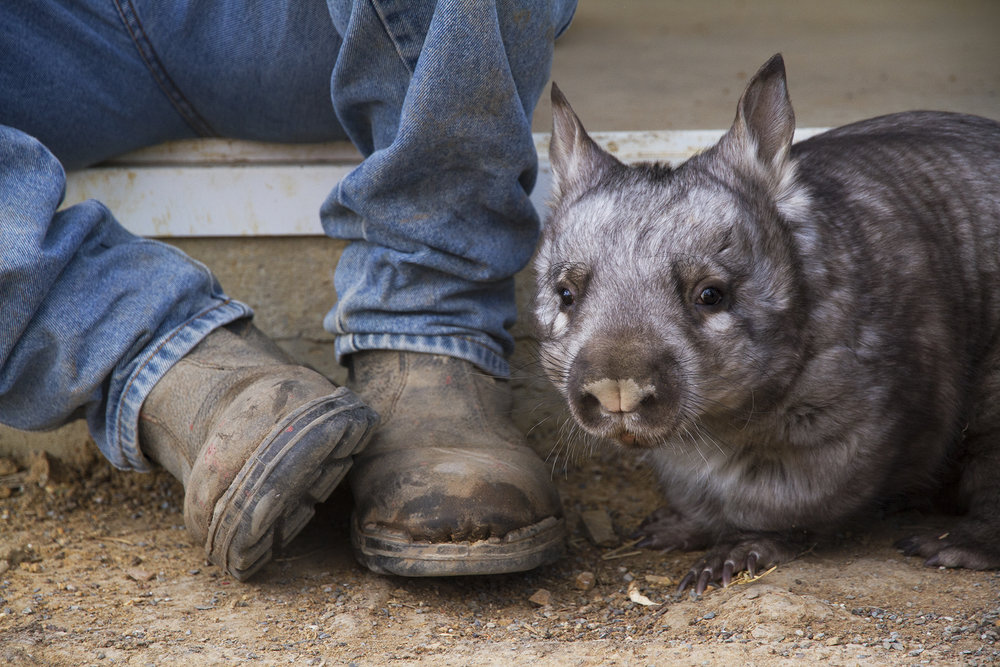 Southern hairy nosed wombat, Mount Larcom.