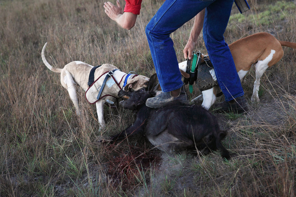 Pig dogs refusing to give up their capture. Central Queensland.