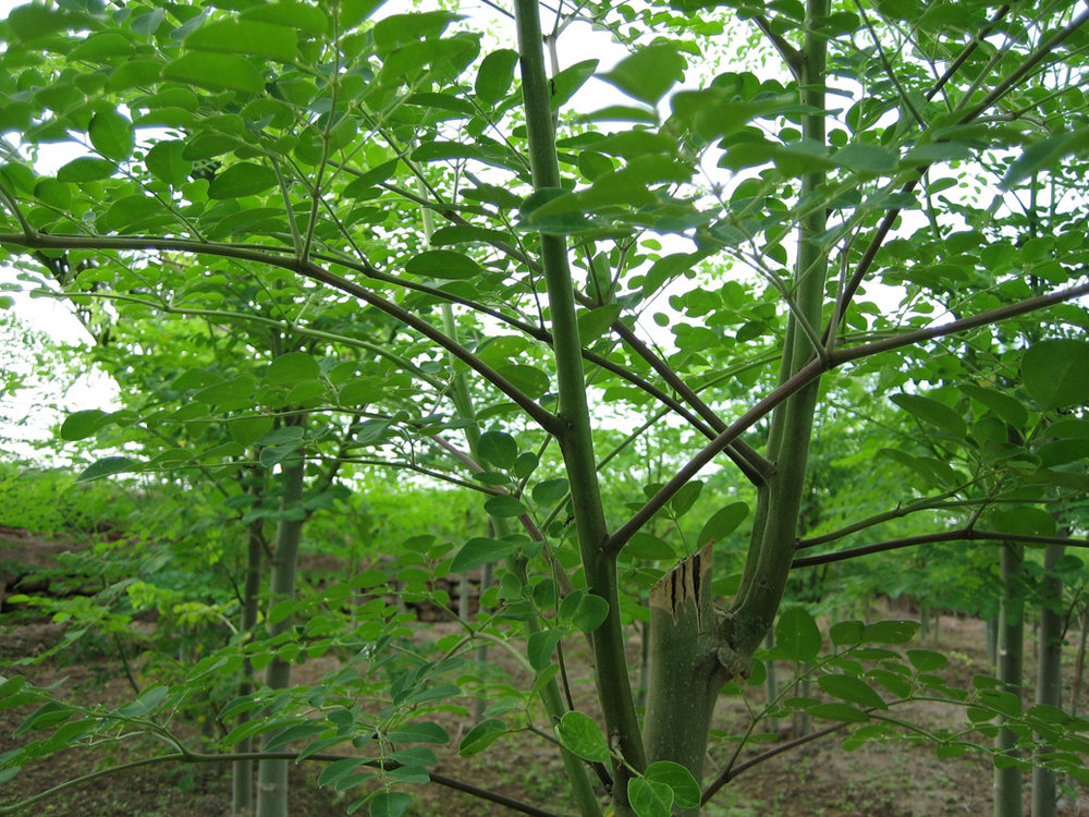 moringa_tree.jpg