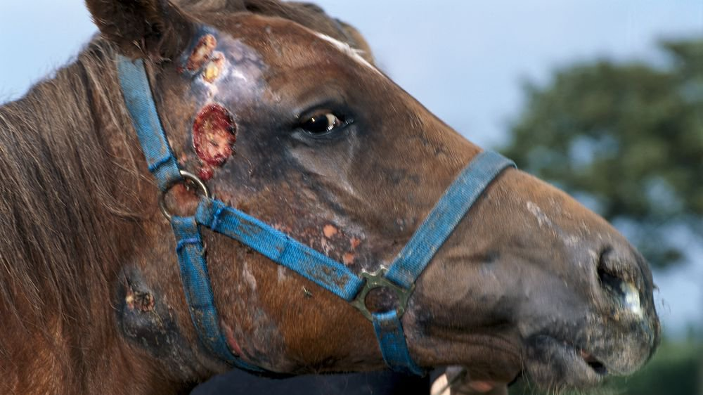 A horse with ruptured lymph nodes as a result of strangles