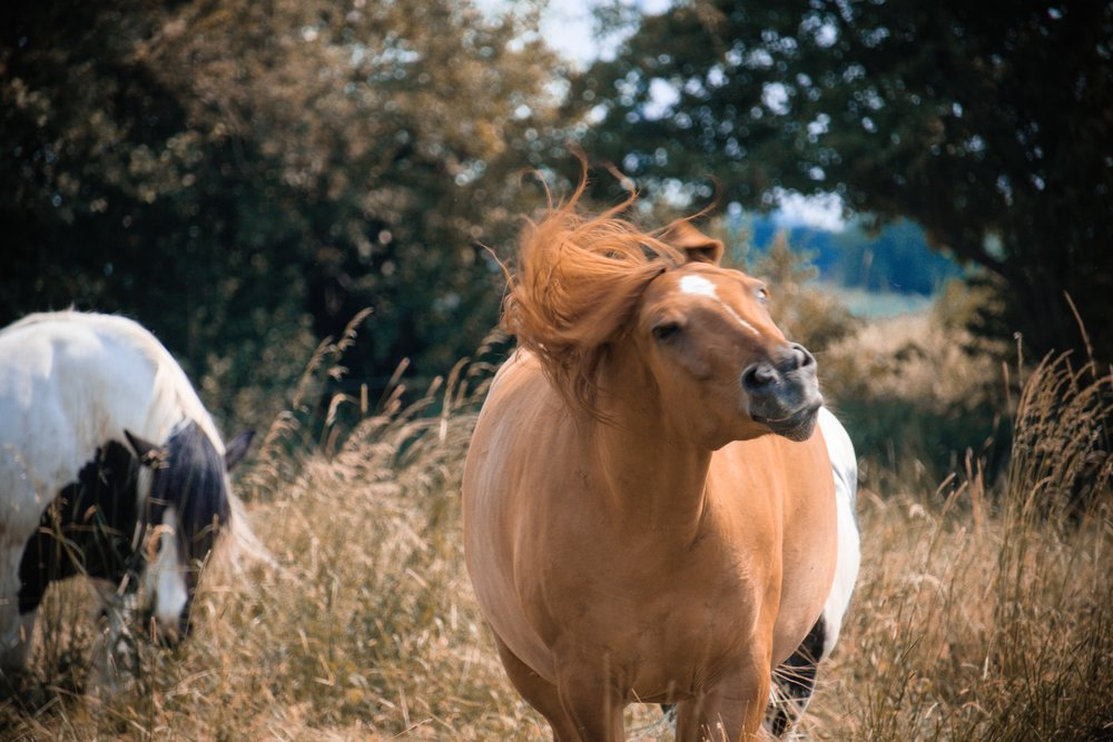 social buffering for horses happens naturally in a stable herd