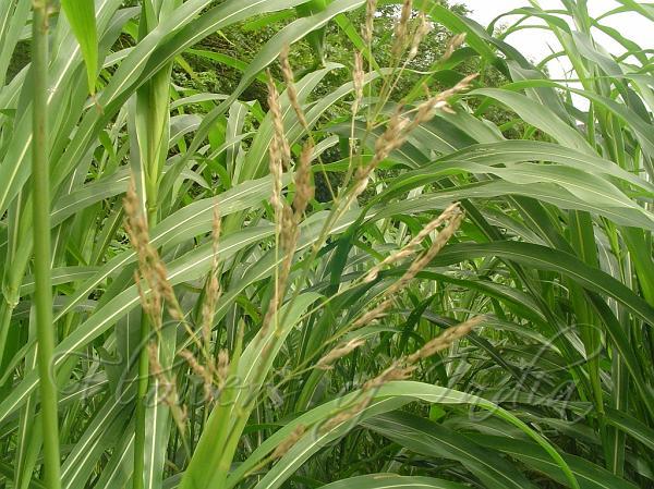 Johnson Grass