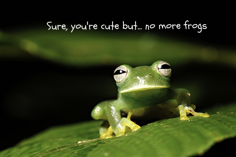 bigstock-amphibian-frog-green-rainfores-18428240_resize.jpg