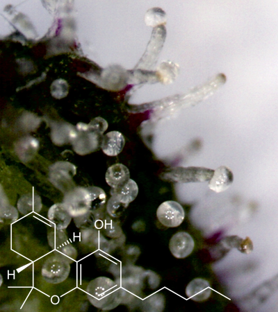 THC-tricomes-.png
