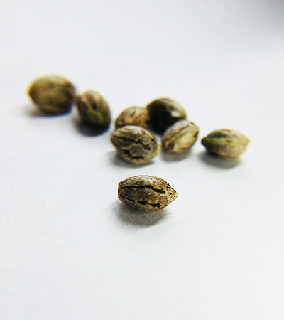 Buy Quality Moontime Seeds