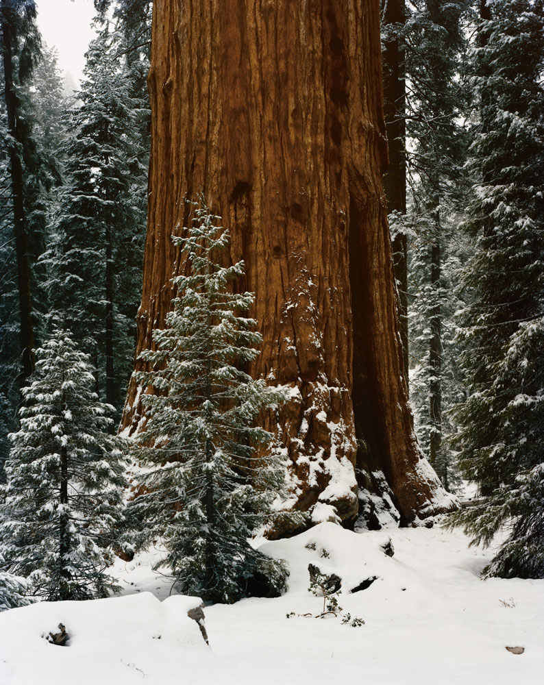 The General Sherman Tree, Sequoia National Park, California, January 1994.
