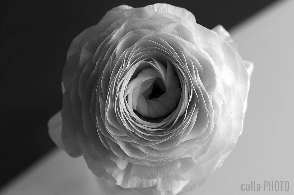 ranunculus-black-white.jpg