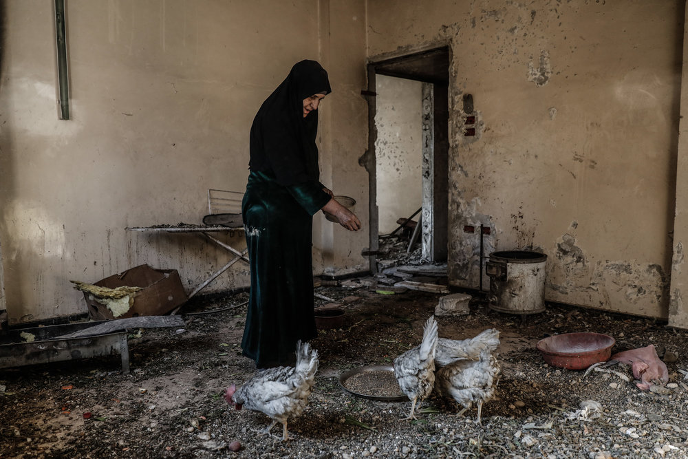 - Umm Mohammed, feeds her chickens at her home.