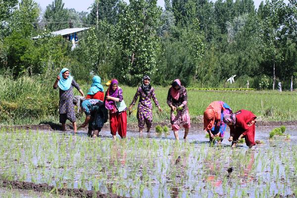 Basmati Rice field in Pulwama District, Kashmir