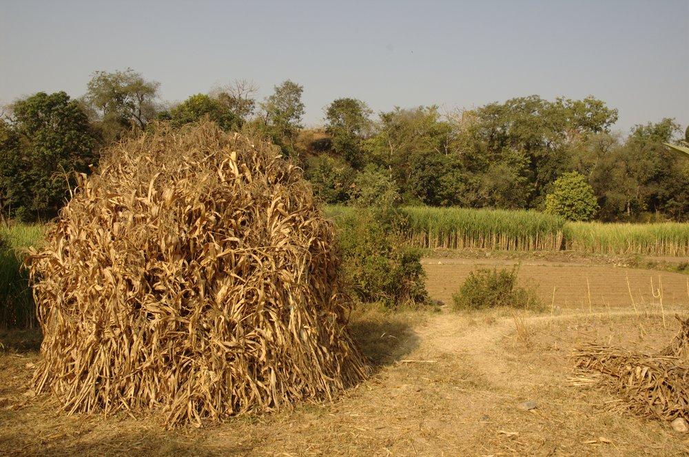 Rajasthani sugar cane field
