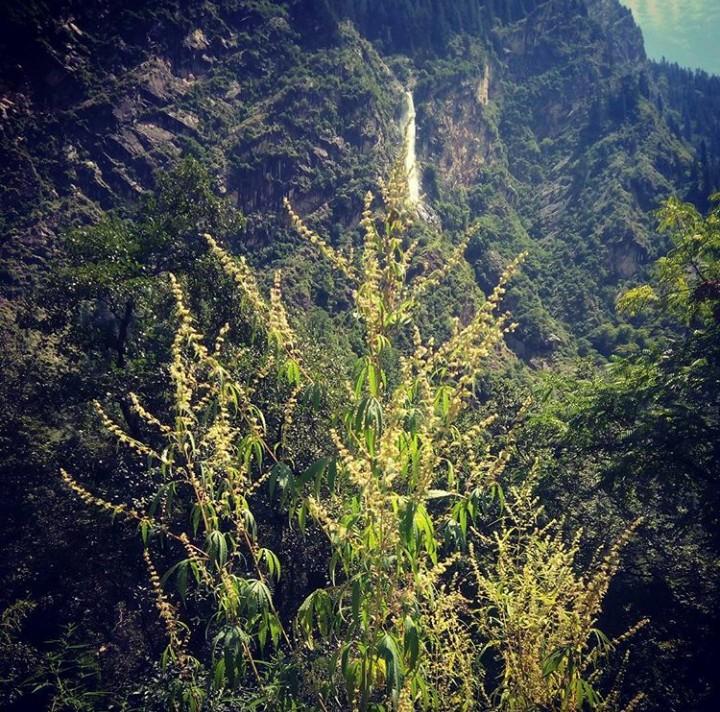Classic high altitude charas cultivar from Nanda Devi