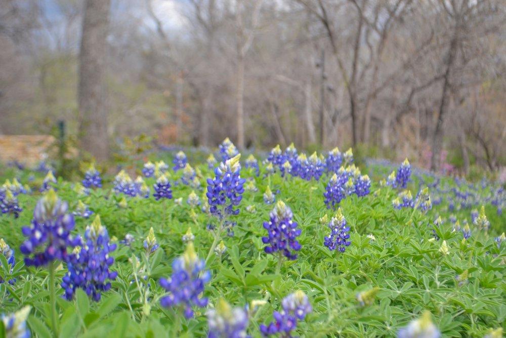 Bluebonnets, Fort Worth Botanical Gardens