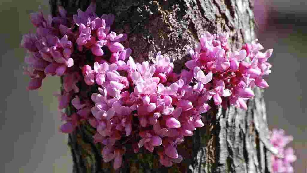 Blooming Redbud