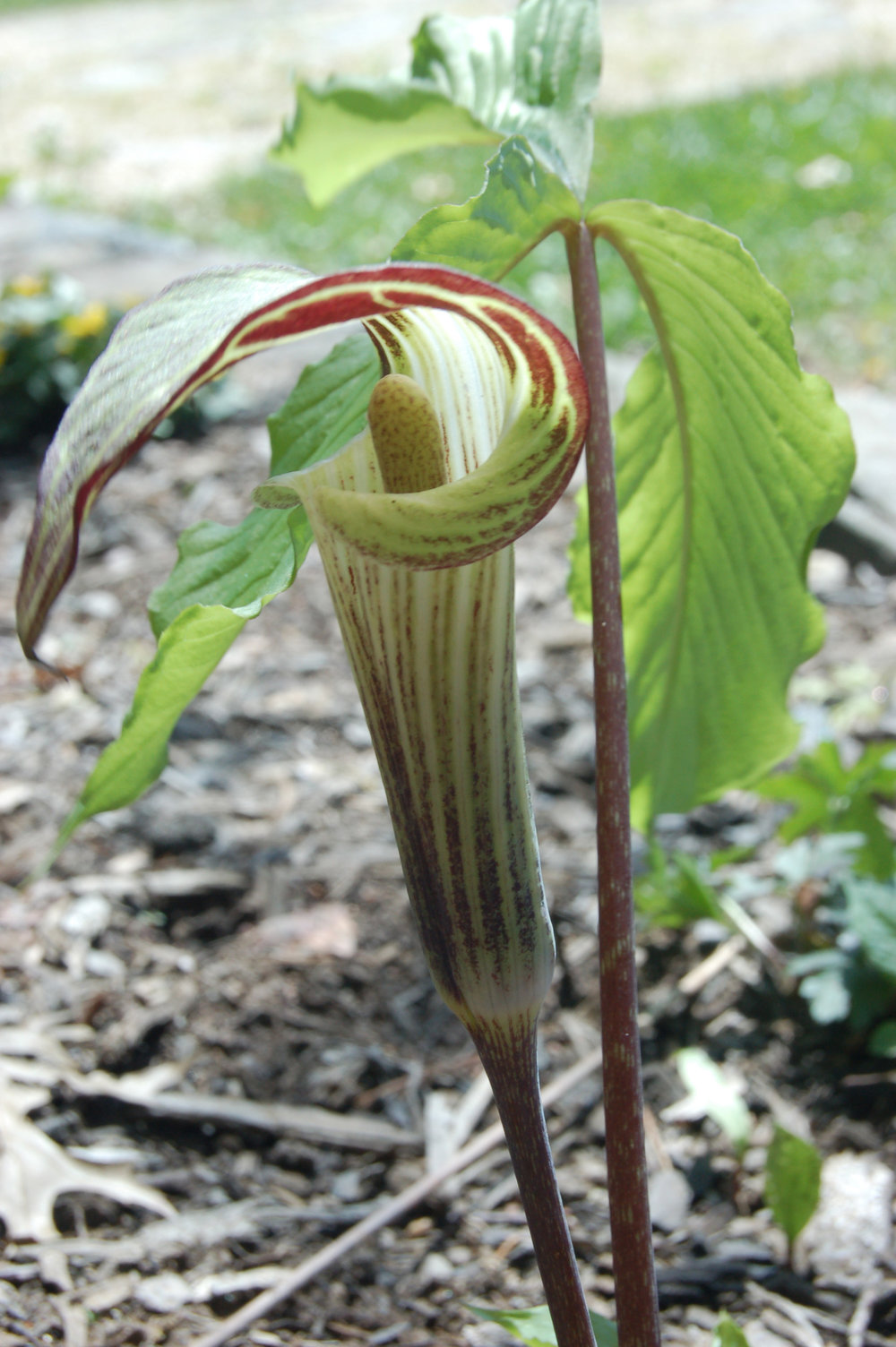 Jack in the Pulpit.jpg