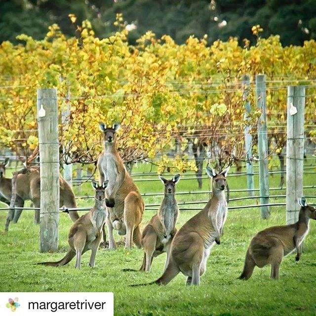 These guys know where to hang out 🍇 Beautiful Margaret river wine region in Western Australia 🇦🇺 #australianwine #wines #winesofwesternaustralia
