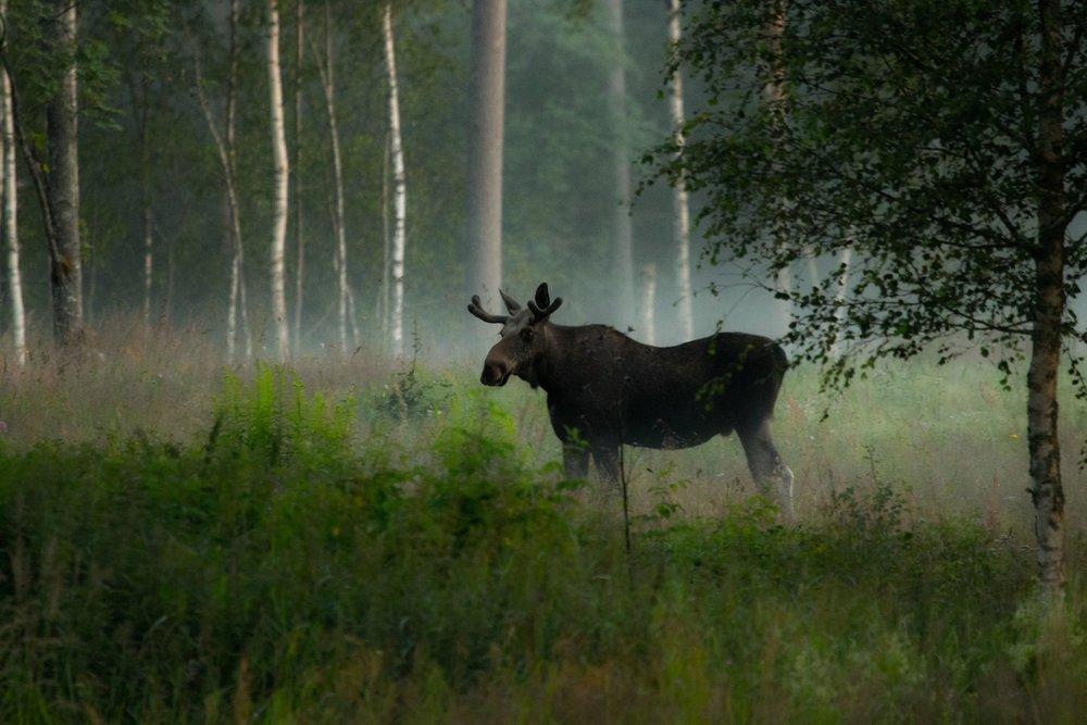 Moose bull. Photo: Jan Nordström