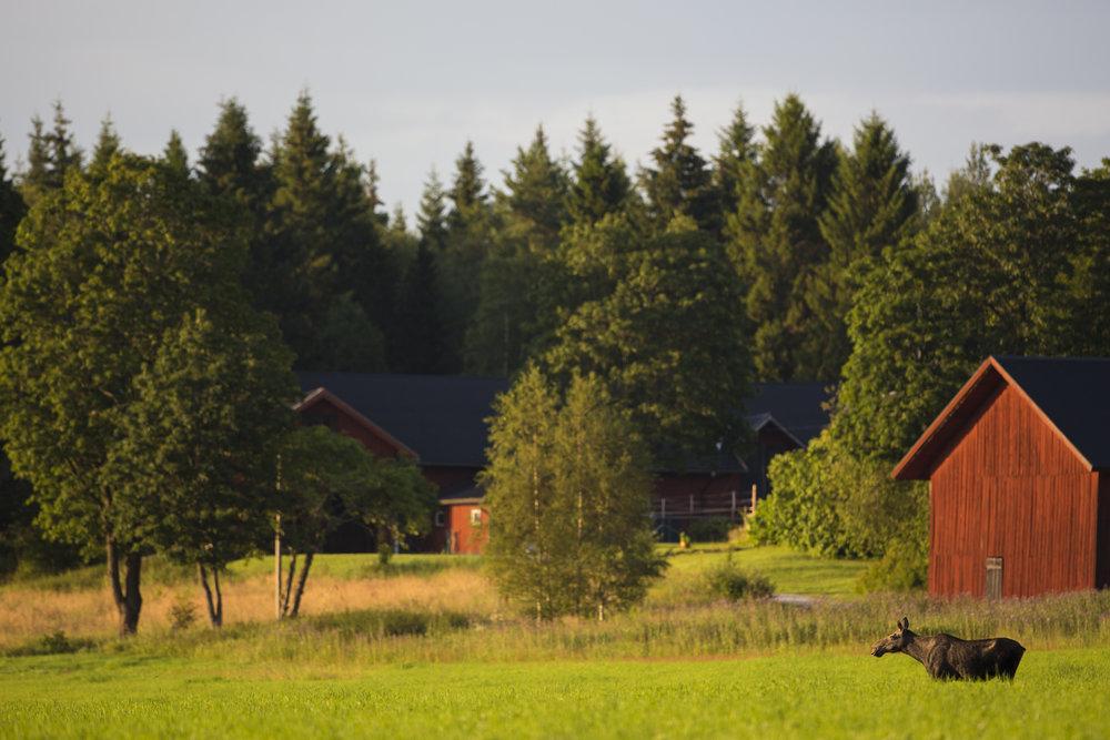 Moose cow. Photo: Marcus Westberg