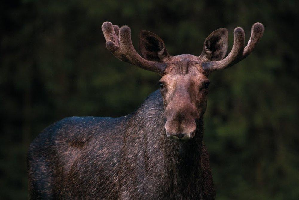 Moose bull. Photo: Marie Mattsson