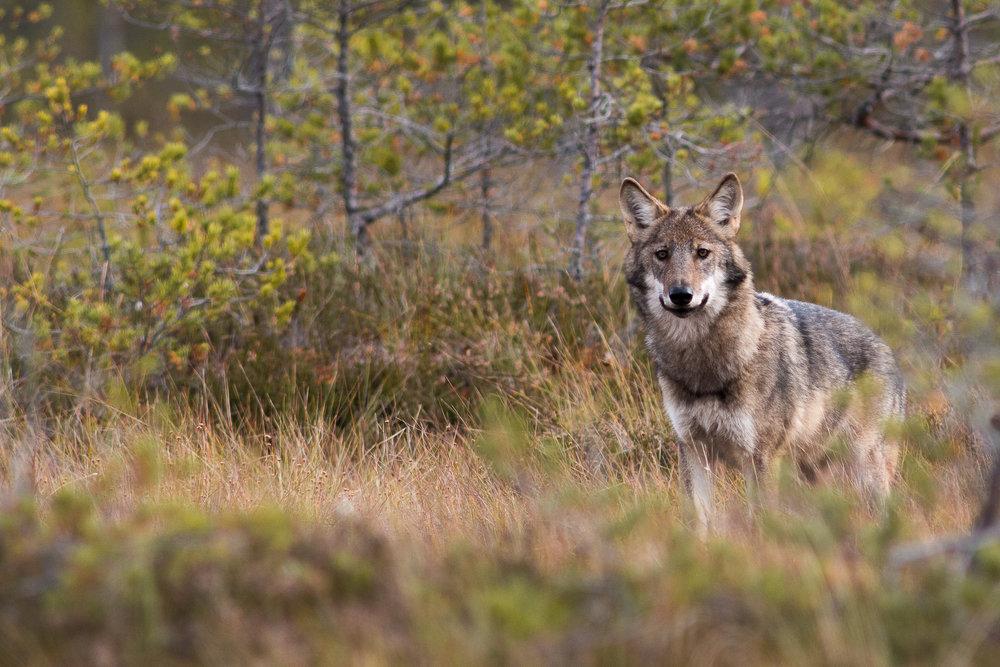 Wolf pup, 6 months old. Photo: Jan Nordström