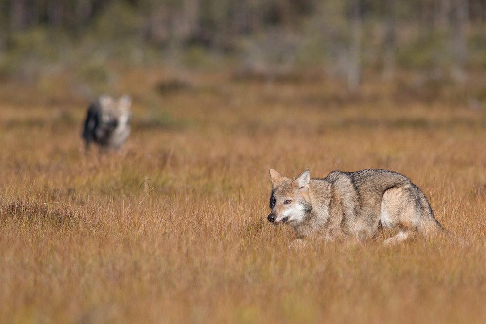 Wild Wolves in Sweden. Photo: Jan Nordström