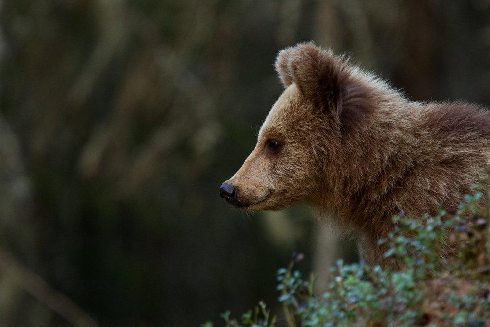 Brown bear cub. Photo: Jan Nordström