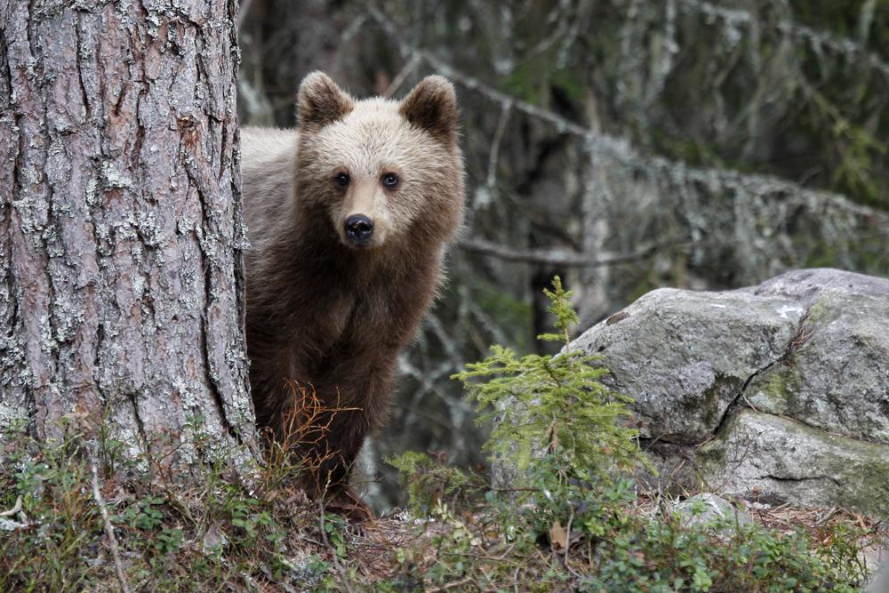 Brown bear cub. Photo: Sara Wennerqvist