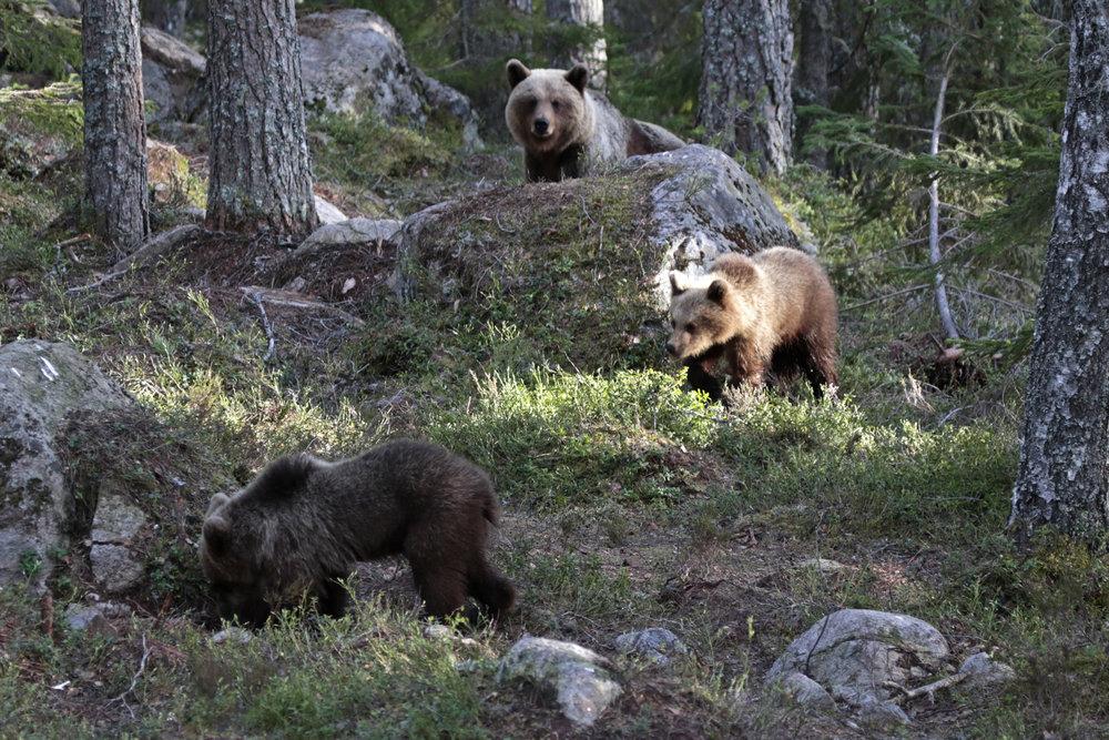 Brown bear female with cubs. Photo: Sara Wennerqvist