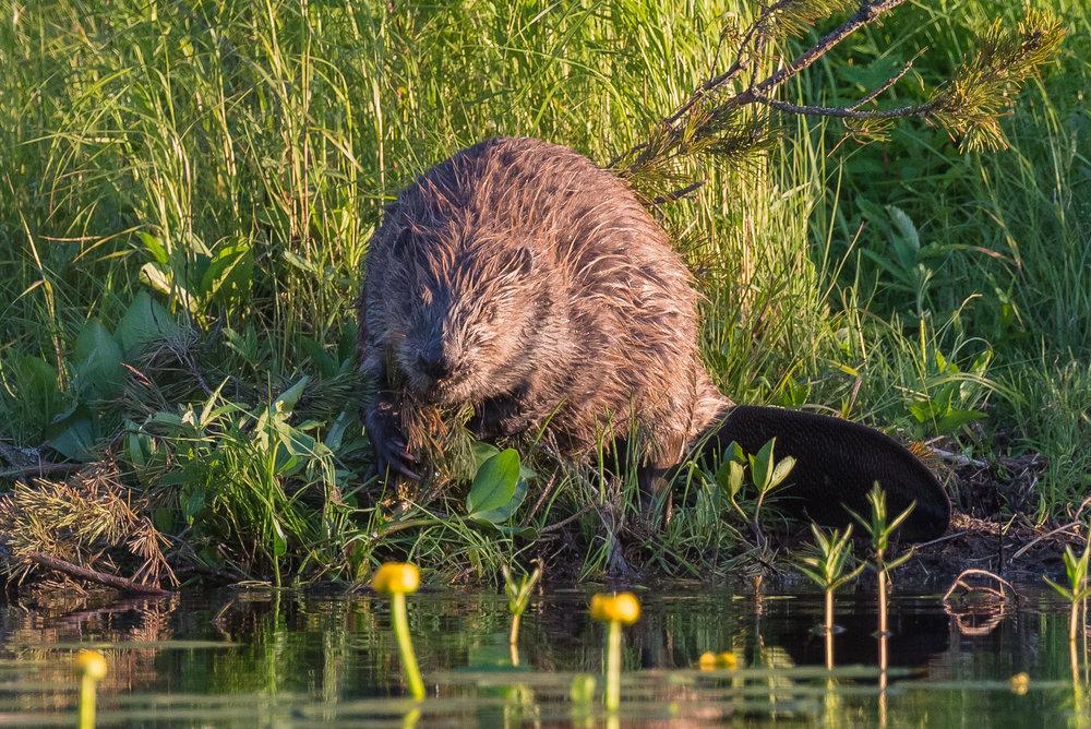 Beaver at the beach. Photo: Sylvia Adams