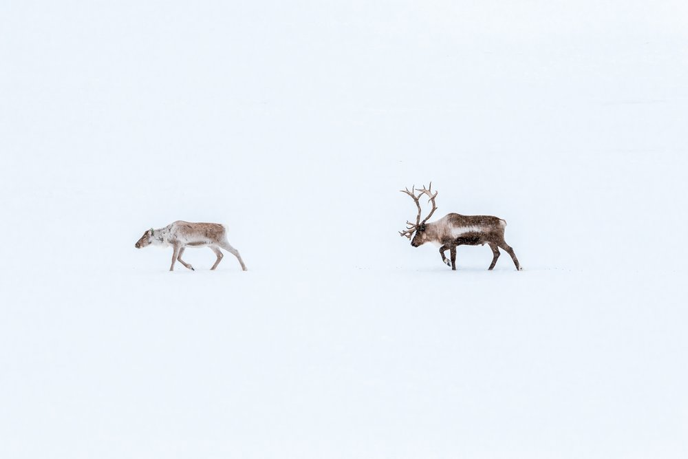 Copy of Reindeer in Swedish Lapland. Photo: Marcus Löfvenberg