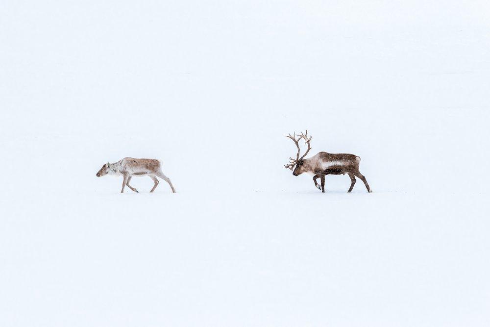 Reindeer in Sweden. Marcus Löfvenberg