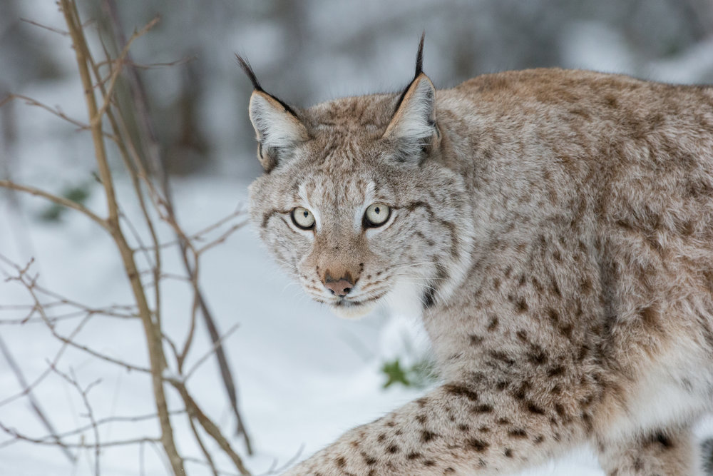 Watch and photograph Lynx in Northern Sweden