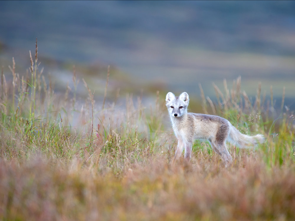 Photo of an Arctic Fox in Sweden by Nicolas Néreau