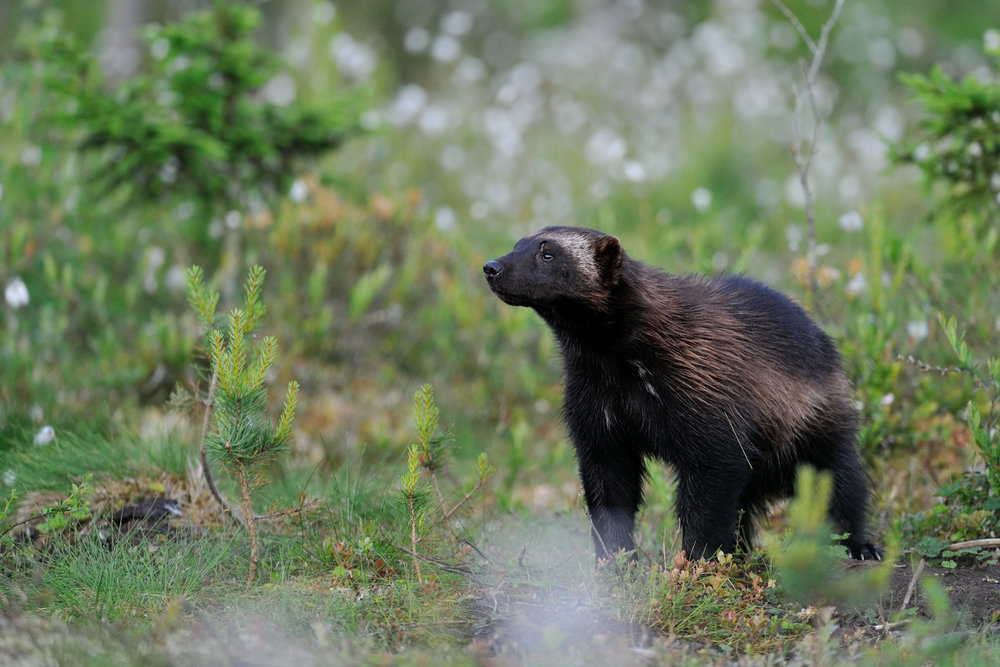 Photo of a Wolverine by Erik Mandre