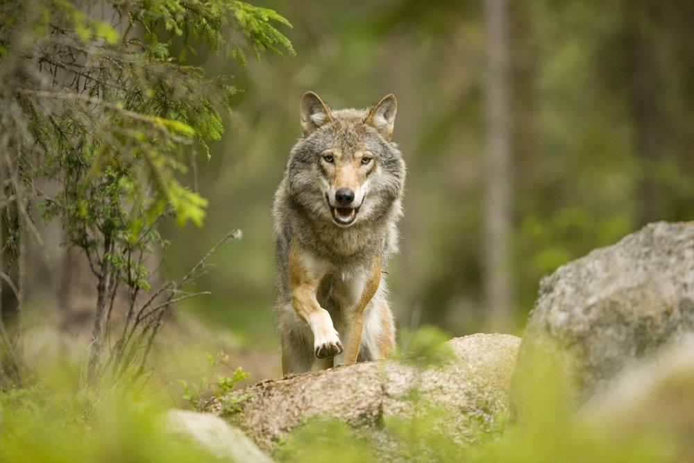 Wolf in Sweden by Glenn Mattsing / Outside
