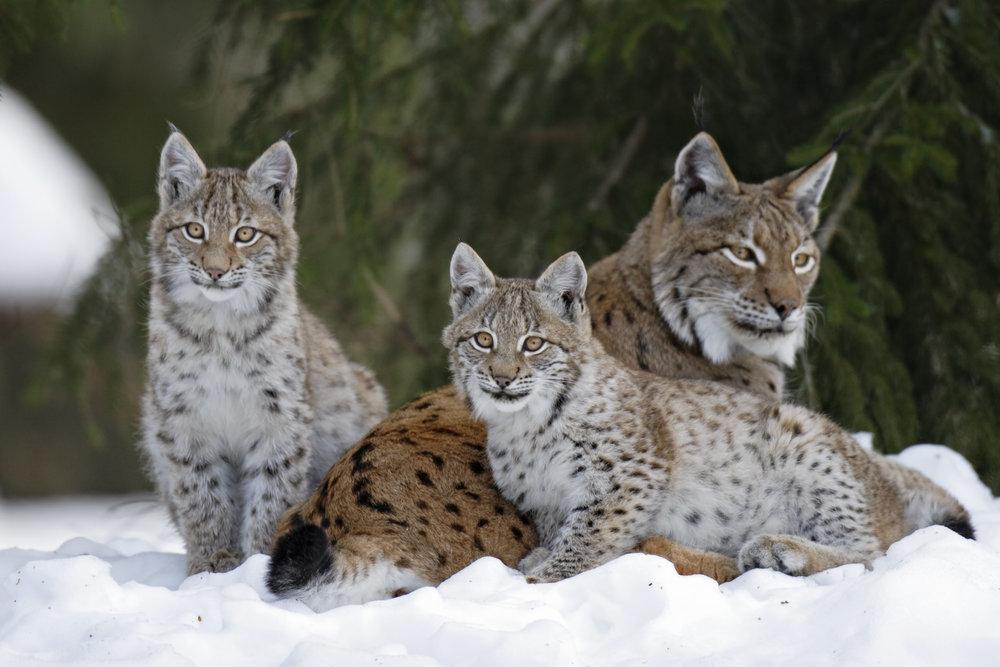 Lynx family in Sweden