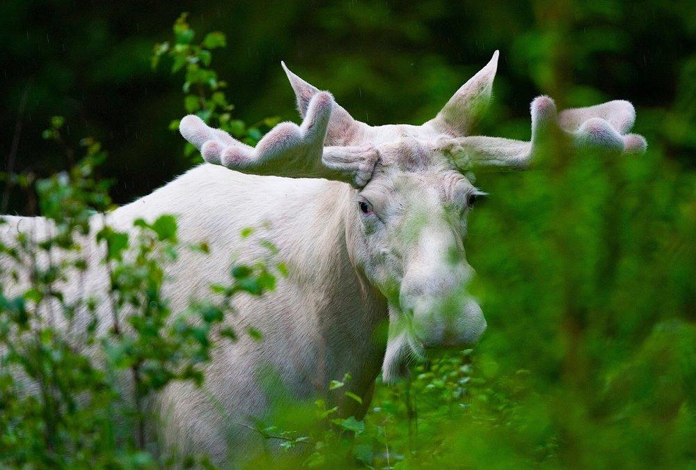 White Moose by Lasse Dybdahl