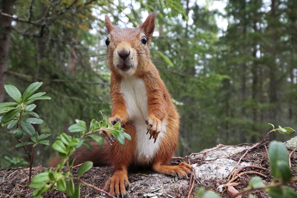 Red Squirrel by Sara Wennerqvist