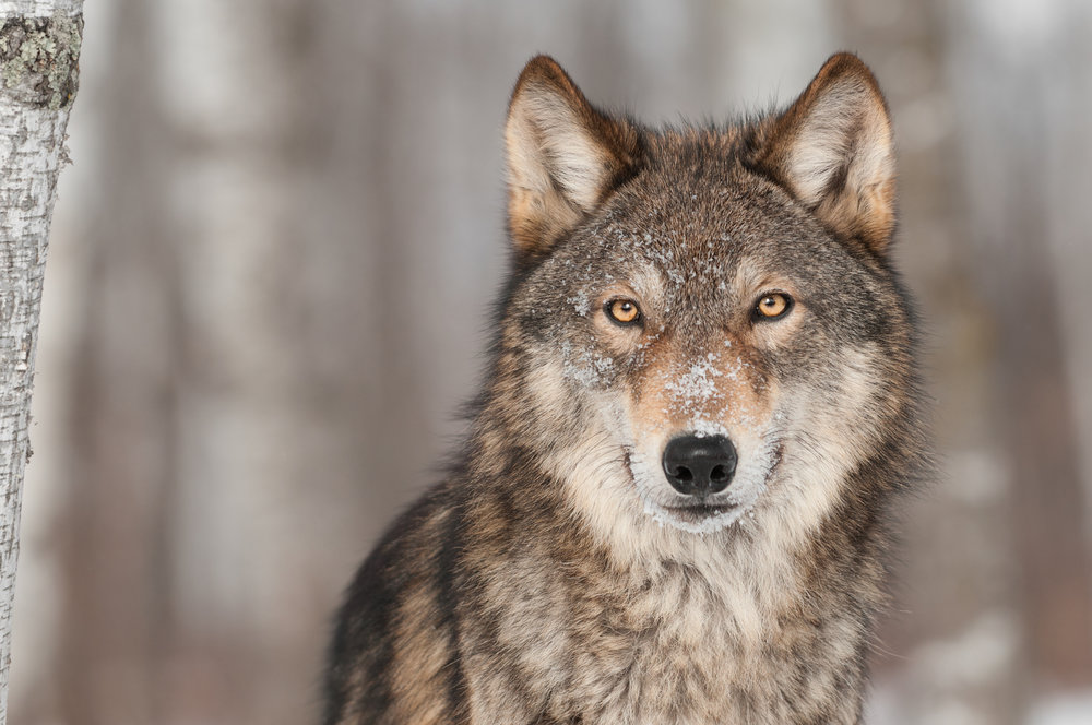 Wolf by H Kuchera