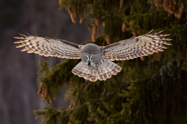 Great Grey Owl. Photo: Daniel Andersson
