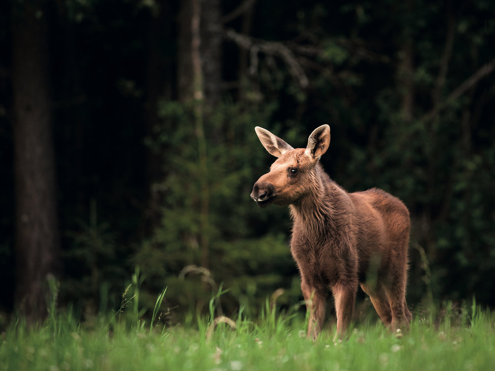 Moose calf in Sweden by Marie Mattsson