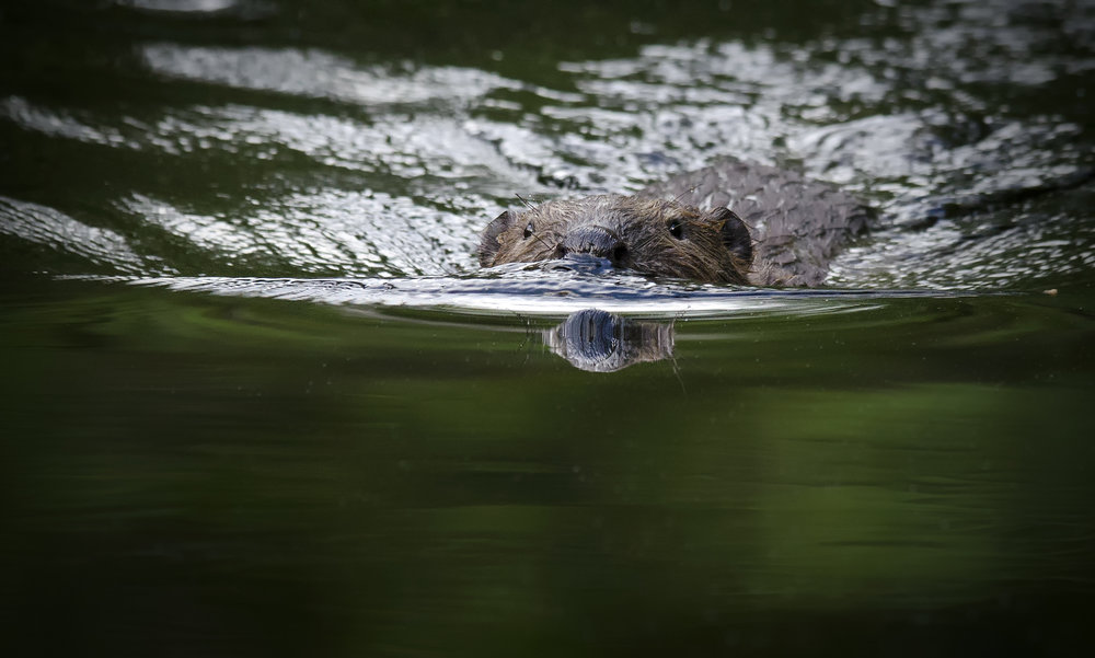 Beaver swimming. Photo: Jörgen Pettersson