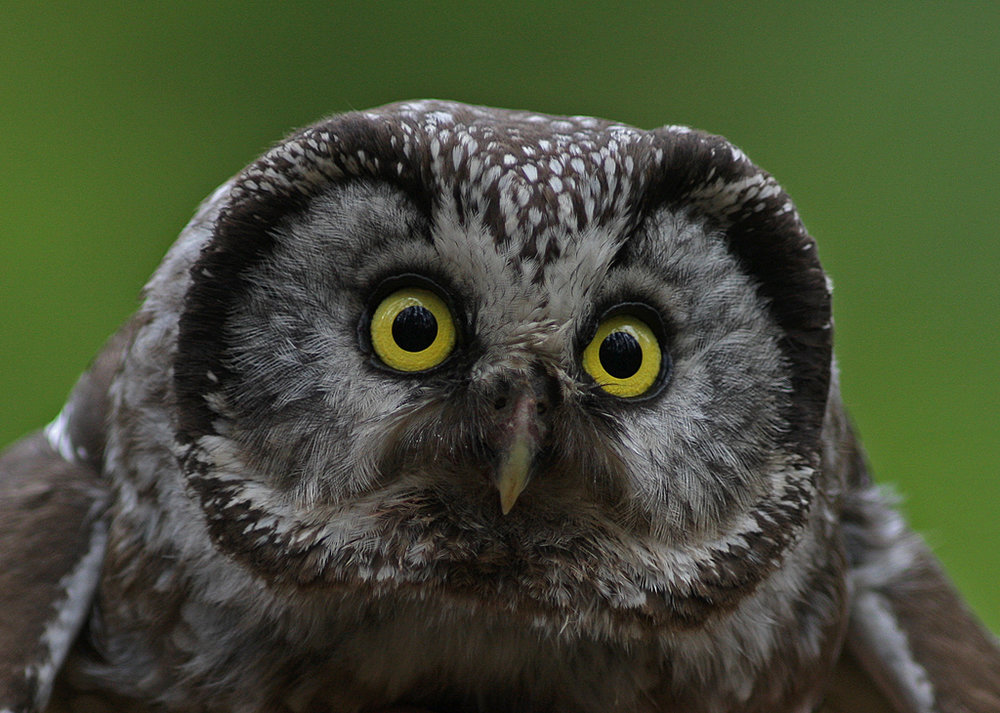 Tengmalms owl up close by Lillebror Hammarström
