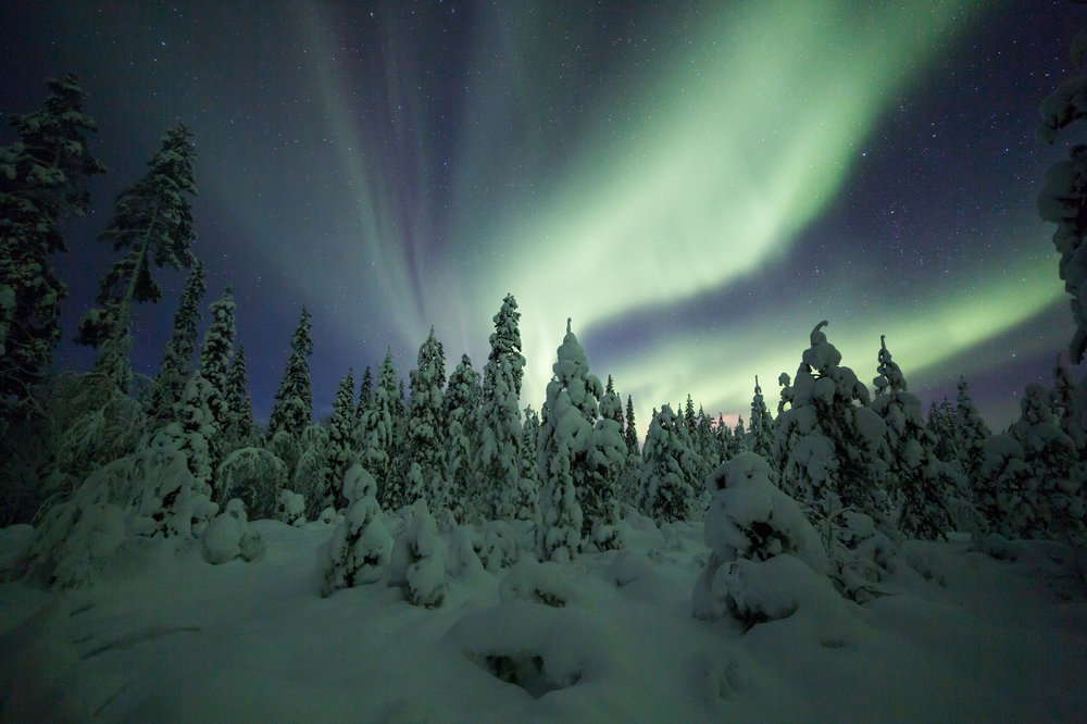 Northern lights over a spruce forest. Photo: Jamen Percy