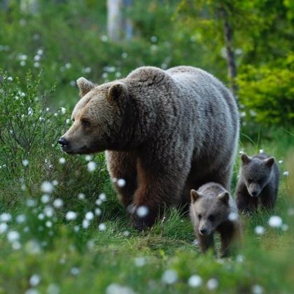 watch_photograph_bears_in_Sweden.jpg