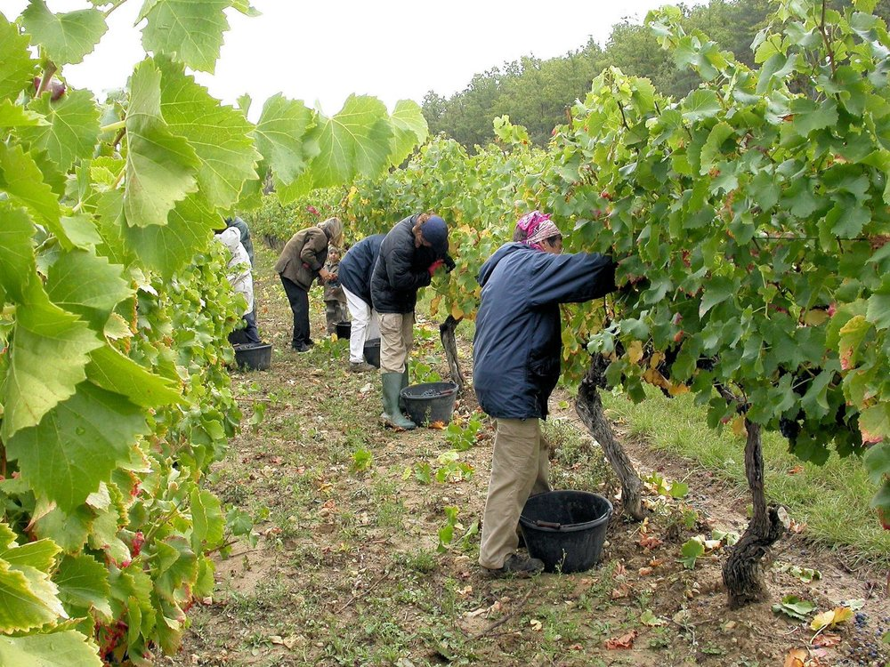La Verriere grape picking
