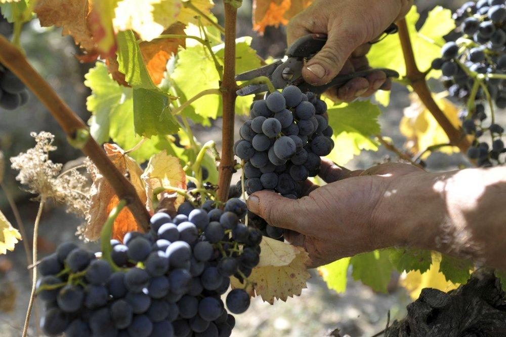 La Verriere grapes