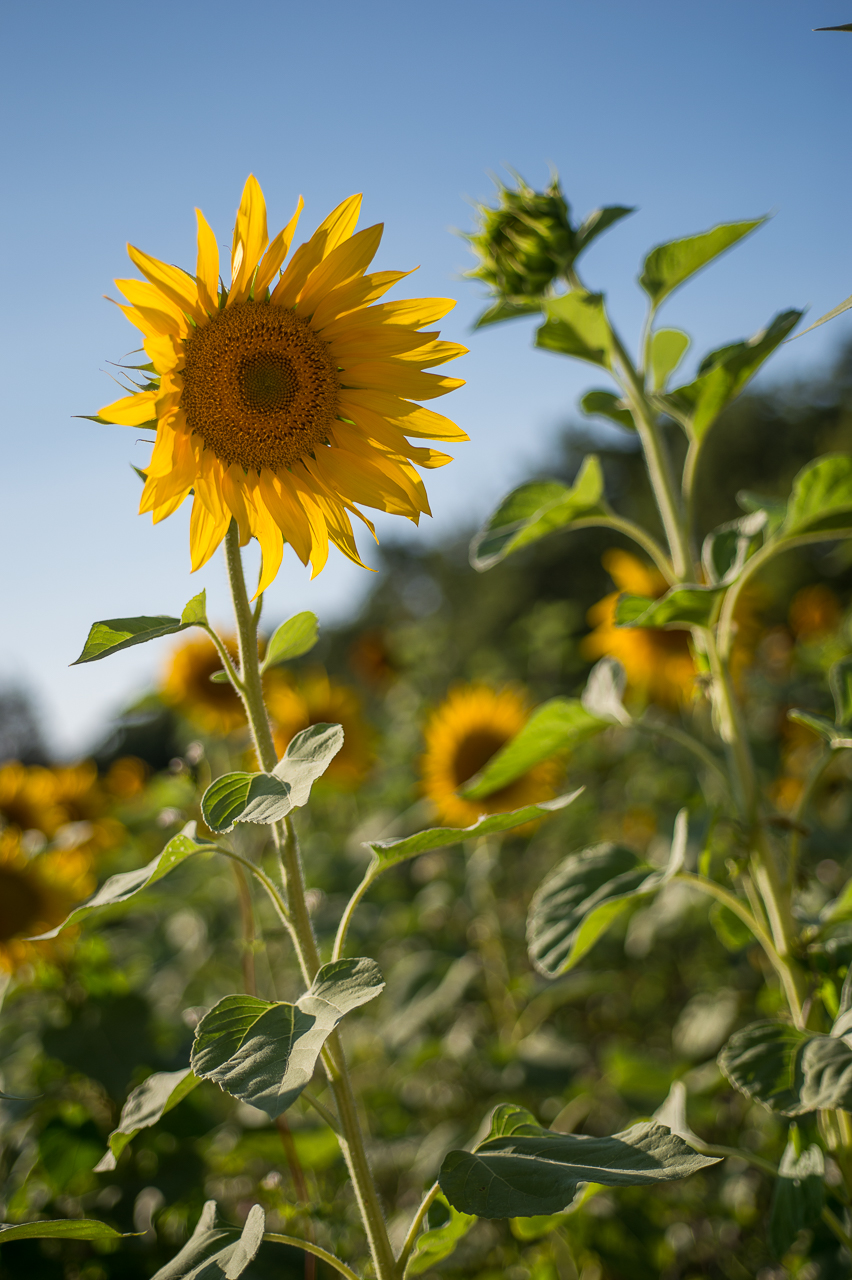 La Verriere sunflower