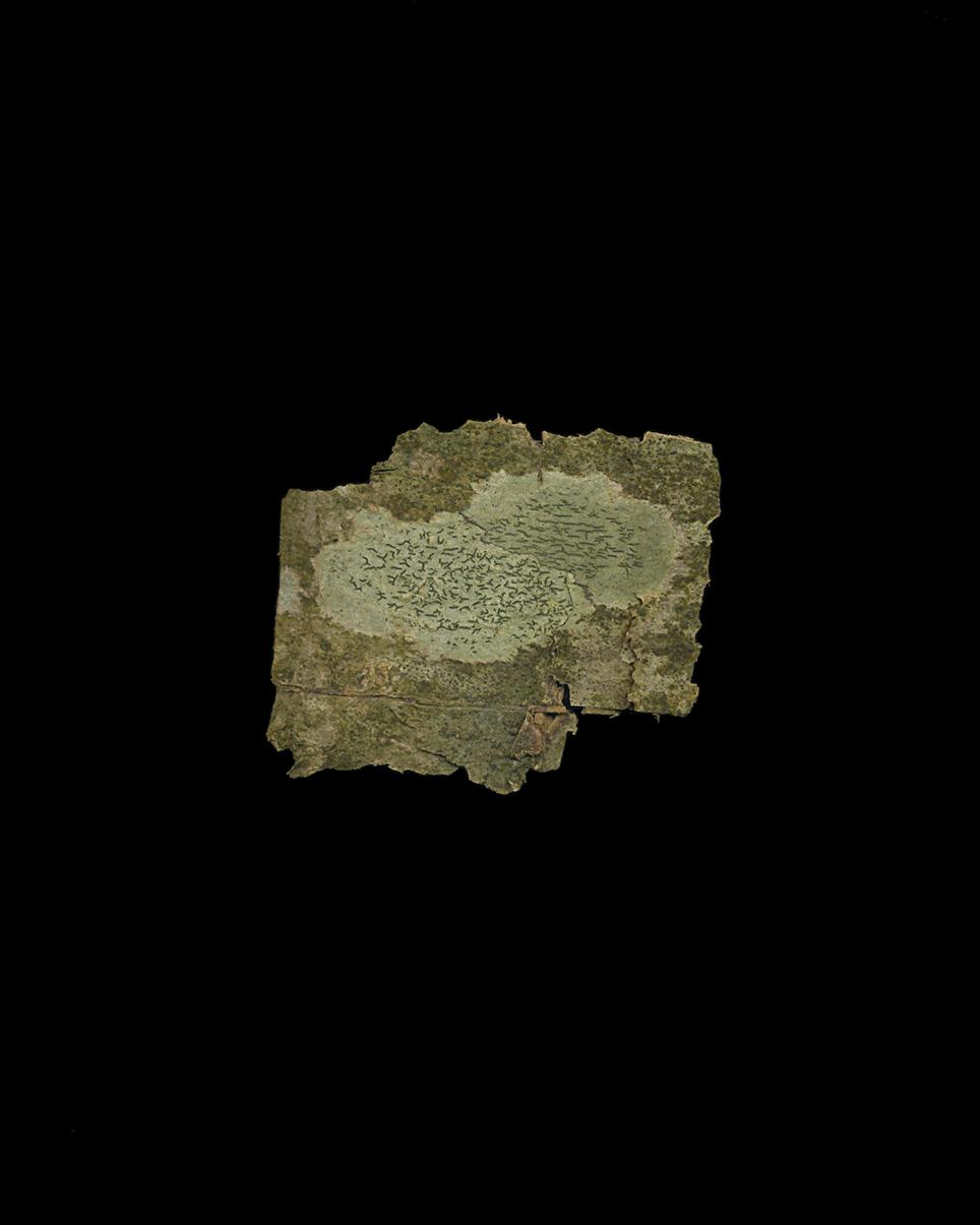 Graphis scripta