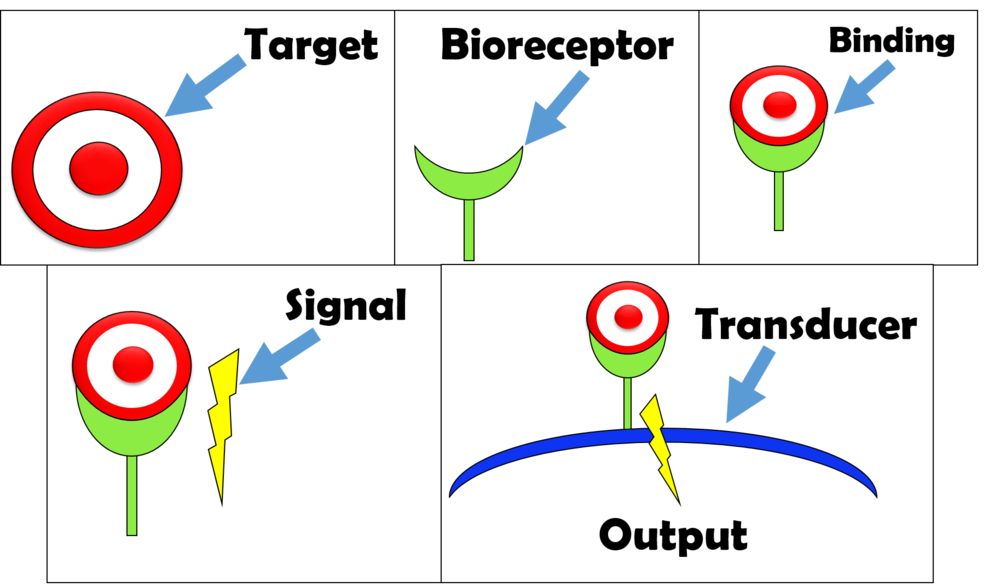 How a biosensor works: the target binds to receptor-> the receptor produces a signal-> the signal is carried to a transducer-> the transducer signal is detected and creates an output.